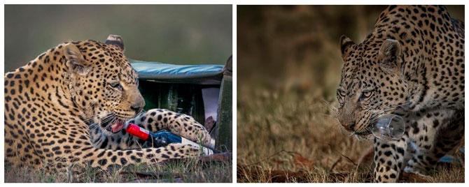 Леопард украл бутылку вина у пары на романтическом сафари-пикнике (фото 1)