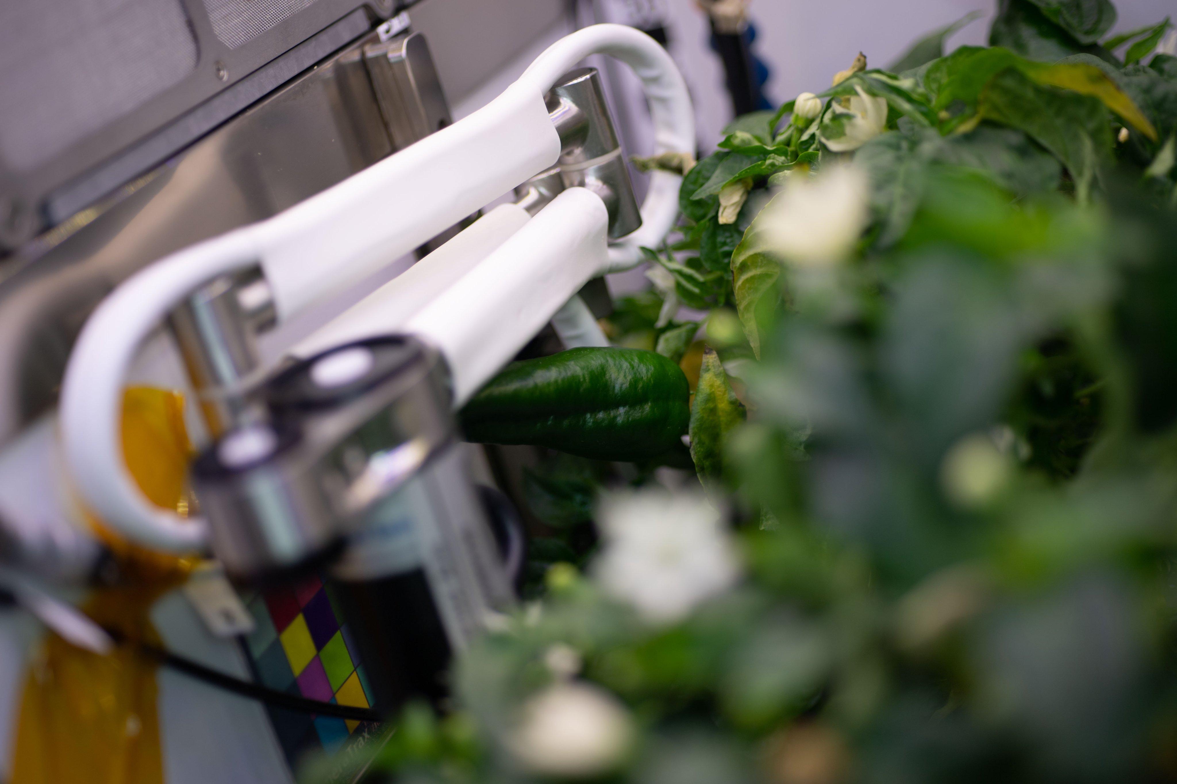 Астронавты впервые вырастили перец чили на борту МКС (фото 3)