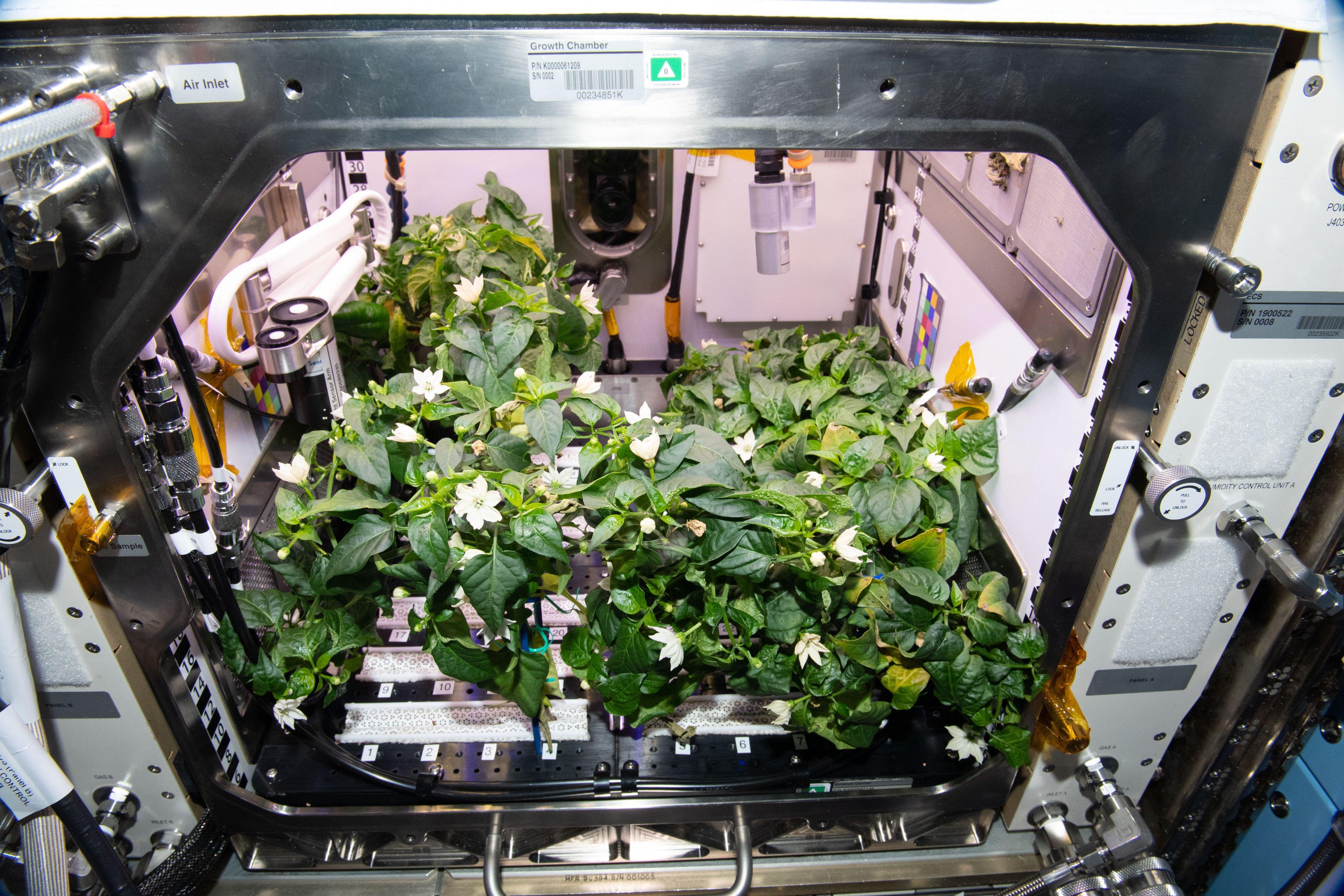Астронавты впервые вырастили перец чили на борту МКС (фото 1)